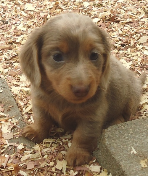hearlth looking Dachshund Puppies For Sale - Thuringowa - Dogs for