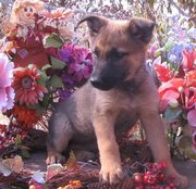 goodlooking and hearlth German Shepherd Dog Puppies For Sale
