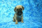 Strong and healthy puggle puppies