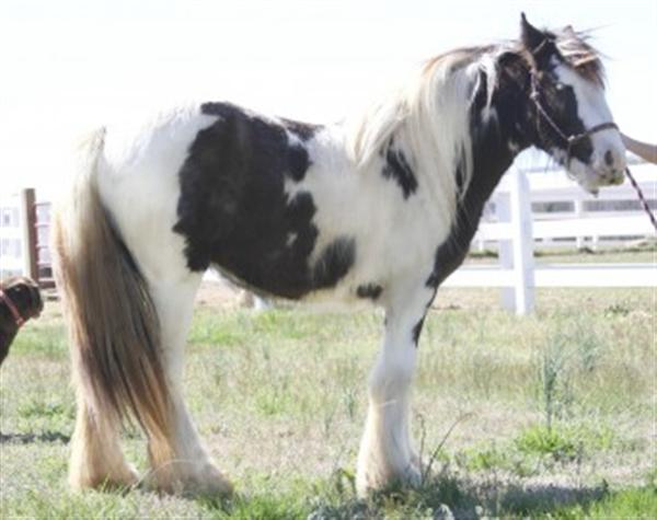 Sweet Gypsy Vanner Horse Ready to Go Now!!!